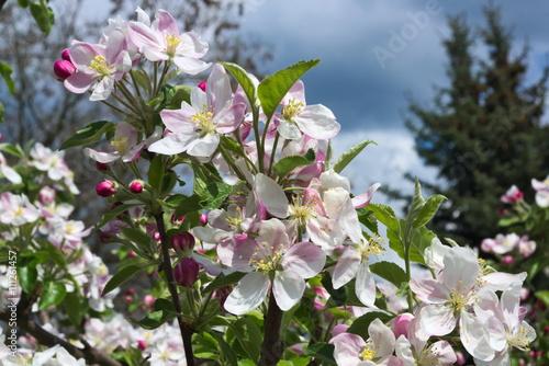 Zdjęcia na płótnie, fototapety, obrazy : Kwiaty jabłoni.