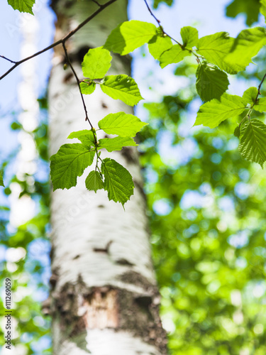 green leaves of birch close up in spring forest