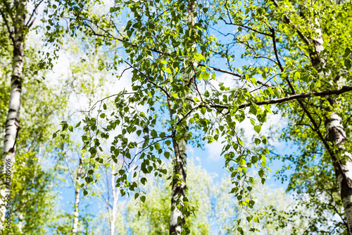 Fotobehang Berkenbos twig of birch tree with green leaves in forest