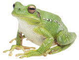tree frog or treefrog, hypsiboas riojanus. A mcro of a beautiful green animal isolated on a white background.