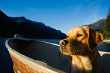 Yellow Labrador Retriever dog sitting in an aluminum boat in a moutain water inlet