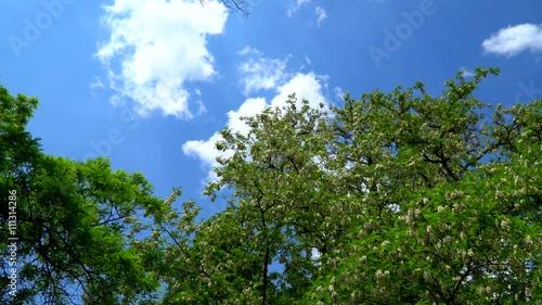 Zdjęcia na płótnie, fototapety, obrazy : Blue sky with clouds. It can be seen flowering acacia tree