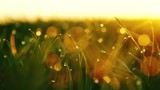 DPLLY MOTION: background of dew drops on bright green grass with sun beam. Bright natural bokeh. Soft focus. Abstract creative background . small depth of field. close up. RAW video record.