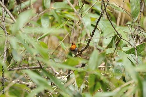 Zdjęcia na płótnie, fototapety, obrazy : 藪の中のコマドリ