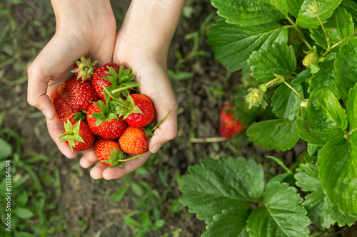hands with fresh strawberries  in the garden - 111364694