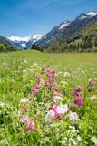 Oberallgäu - lila Frühlingsblumen vor schneebedckten Bergen