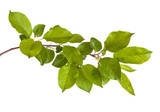 apple-tree branch with green leaves. Isolated on white backgroun - 111386201