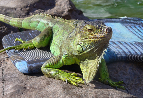 mata magnetyczna Young Iguana male laying on a driveway taking the early morning sun