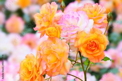 Zdjęcia na płótnie, fototapety, obrazy : 日本の春薔薇