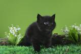 Black Scottish kitten playing on the spring grass