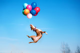 American staffordshire terrier dog jumps in the air to catch flying balloons - Fine Art prints