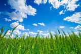 green field of wheat on blue sky background - wide angle view
