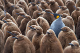 Fototapety Adult King Penguin (Aptenodytes patagonicus) standing amongst a large group of nearly fully grown chicks at Volunteer Point in the Falkland Islands.