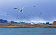 seagulls fly and shout over the lake