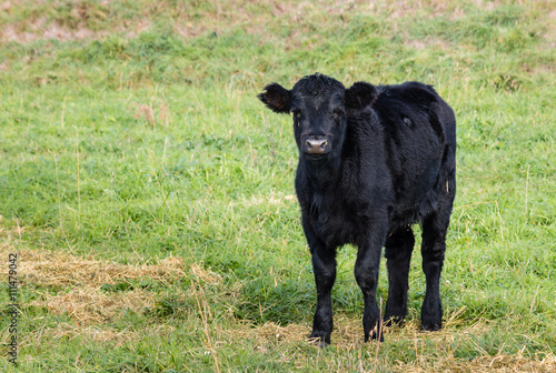 Poster isolated black Angus calf standing on grass
