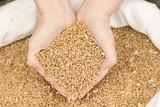 Zwei Hände schöpfen Getreide aus einem Getreidesack - 111484659