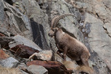 Alpine Ibex in Italian Alps
