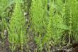 Leinwanddruck Bild - Ackerschachtelhalm; Equisetum; arvense
