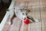 puppy border collie with toy