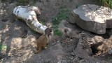 4K video of meerkats (suricate suricatta) looking for food under logs and rocks
