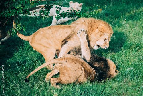 Poster Beautiful Lions in Savannah