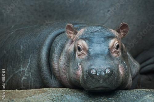 hipopotam-hippopotamus-amphibius