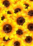 向日葵の背景