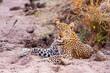 Wild African Leopard resting