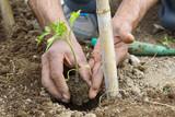 contadino pianta pomodori in un orto