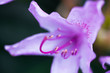 Rhododendron purple flower