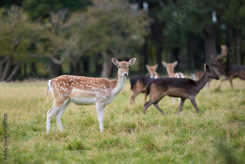 Poster Close-up fallow deer standing in autumn wood