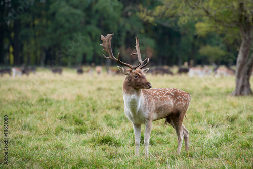 Close-up fallow deer standing in autumn wood Poster