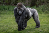 A silver back gorilla standing and looking alert and menacing against a natural background - 111658853