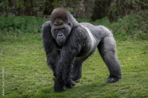 A silver back gorilla standing and looking alert and menacing against a natural Poster