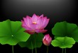 Pink Lotus flower with green leaves on black background