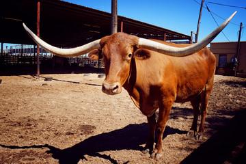 Long buffalo horn, Texas, USA