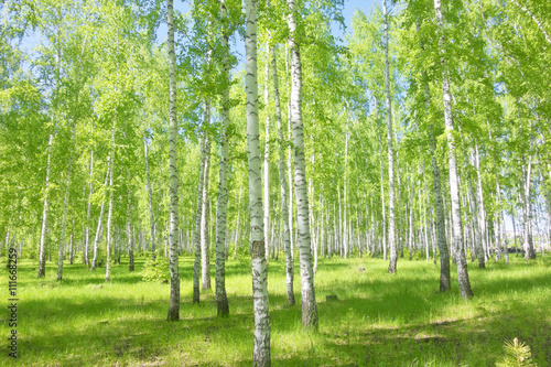 Fotobehang Lente summer birch forest