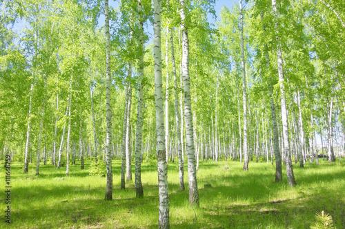 summer birch forest - 111668259