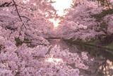 hirosaki park cherry brossom 弘前公園の桜 - 111680259