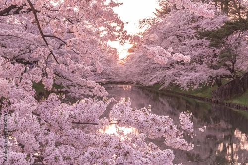 hirosaki park cherry brossom 弘前公園の桜 Poster