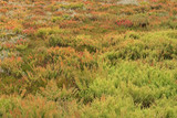 The area full of colorful Suaeda (Austral Seablite) , Common Glasswort, Salt meadow, Salt tolerant plants growing in salt marsh in Victoria, Australia