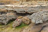 Beaded Glasswort, salt marsh plant, growing on coastal sea cliff in Victoria, Australia