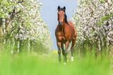 Bay horse running gallop in a spring garden