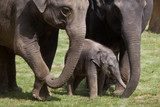 One-month-old Indian elephant (Elephas maximus indicus) with its