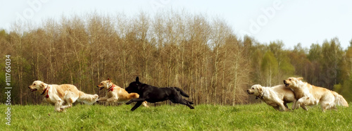 Fotobehang Jacht large group of dogs retrievers running