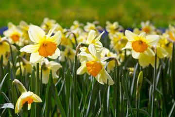 Yellow Daffodils in the garden.