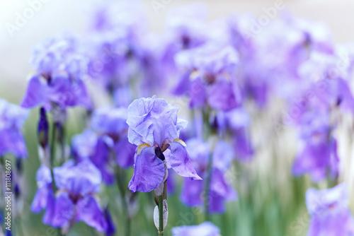 Purple Iris Flowers © B. and E.  Dudziński