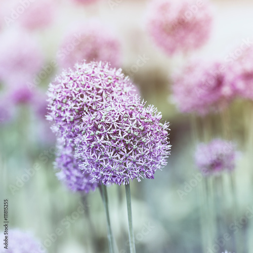 Garlic Flowers - 111815255