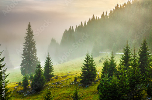 fir trees on meadow between hillsides in fog before sunrise