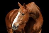 Pferd mit Blesse vor schwarzem Hintergrund (Senior) - 111865627